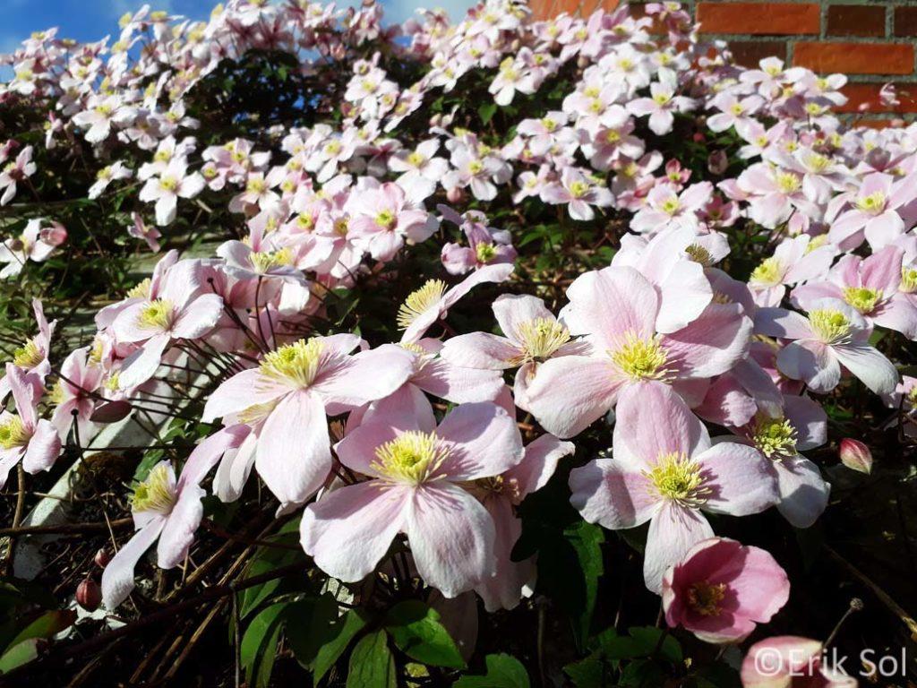 Mijn tuin in mei: Clematis